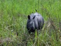 One Horn Rhino Chitwan
